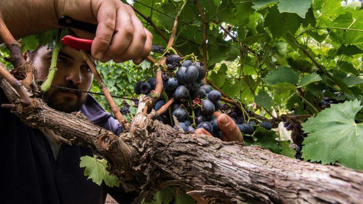 Familia Zubizarreta reutiliza orujo de la uva como alimento para ganado