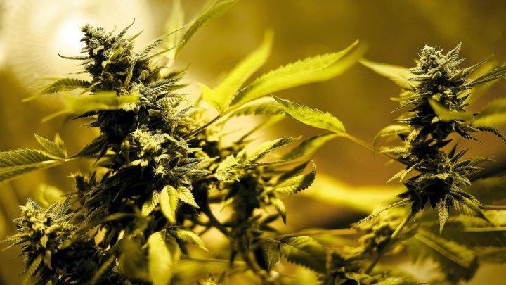 Empresas de cannabis medicinal se instalarán en Nueva Helvecia y Juan Lacaze