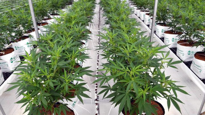 """Cannabis medicinal en Colonia. Inversores evalúan anuncio del gobierno como un """"aliciente"""""""